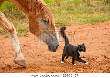 Belgian Draft horse following his tiny little black and white kitty cat friend
