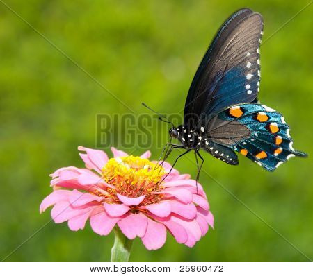 Ventral view of a brilliant iridescent Green Swallowtail feeding on a pink flower against green background