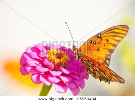 Orange and silver colored Gulf Fritillary feeding on a hot pink Zinnia against light background
