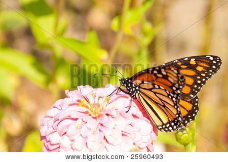 Migración mariposa monarca alimentándose de una reposición de su suministro de energía de Zinnia