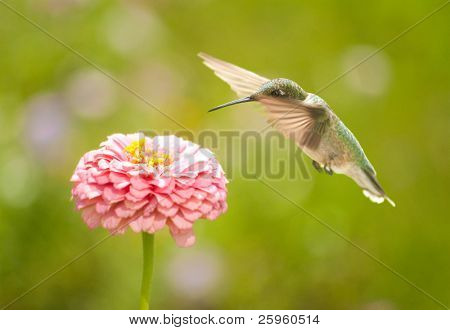 Tiny Hummingbird getting ready to feed in a flower in a summer garden