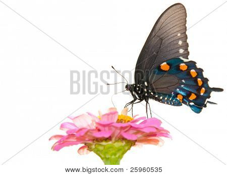 Ventral view of a beautiful Pipevine Swallowtail butterfly feeding on a pink flower against light background