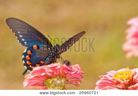 Beautiful iridescent blue Pipevine Swallowtail feeding on a pink Zinnia, front ventral view
