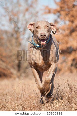 Weimaraner dog running on a dry grass field toward the viewer