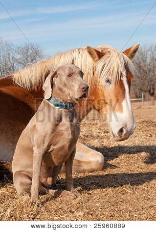 Weimaraner dog sitting next to his resting friend, a huge Belgian Draft horse