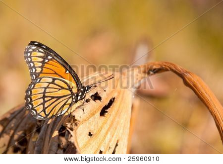 Brilliant orange, black and white Viceroy butterfly resting on a dry Waterlily leaf in late autumn sunshine