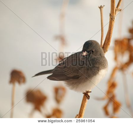 Dark-Eyed Junco perched on a dry flower stalk against snowy background