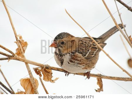 Harris's Sparrow perched on a dry flower stalk in a winter storm