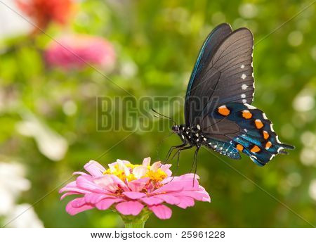 Green Swallowtail butterfly feeding on a pink Zinnia in sunny summer garden
