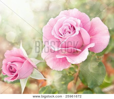 Dreamy image of a beautiful pink rose in the garden