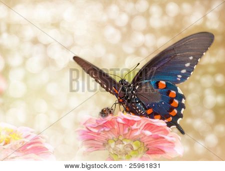 Dreamy image of a Pipevine swallowtail butterfly on a pink Zinnia