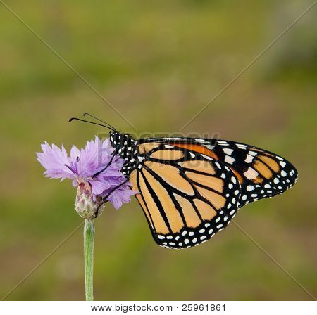 Danaus plexippus, Monarch butterfly, on a purple cornflower against spring green background