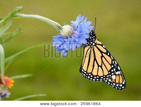 Beautiful Danaus plexippus, Monarch butterfly, resting on a blue cornflower in spring garden