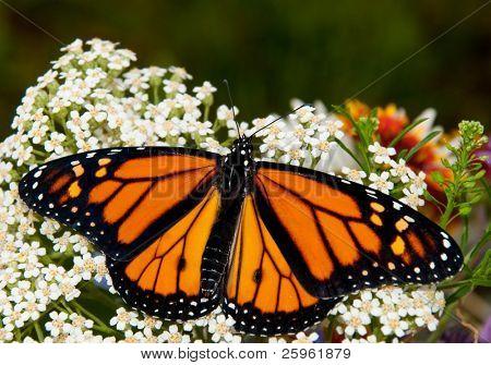 Danaus plexippus, Monarch butterfly, on a white Yarrow flower in spring