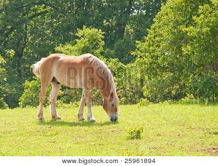 Blond Belgian Draft horse grazing in green spring pasture