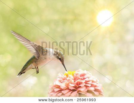 Dreamy image of a Ruby-throated Hummingbird feeding on a pink Zinnia