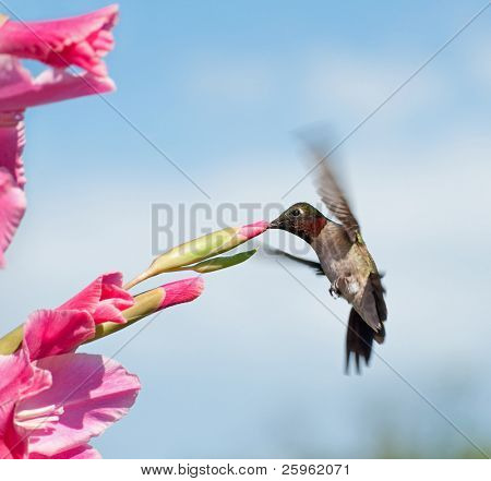 Hummingbird male feeding on a pink Gladiolus flower