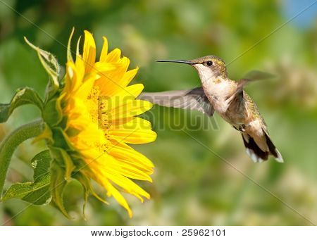 Ruby-throated Hummingbird hovering next to a bright yellow sunflower