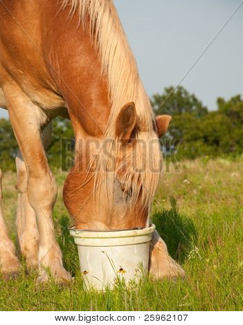 Closeup of a Belgian draft horse eating his feed from a bucket