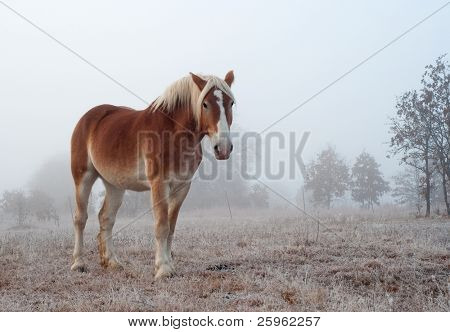 Belgian draft horse on a foggy, frosty winter morning