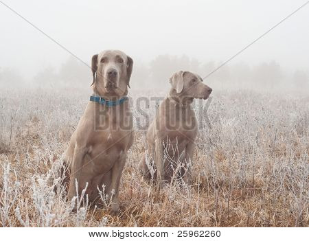Two Weimaraner dogs in heavy fog on a cold, frosty winter morning