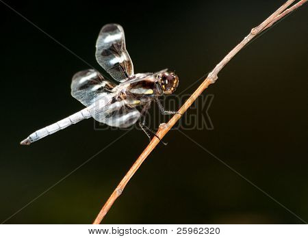Twelve-Spot Skimmer dragonfly perched on a twig, ventral view