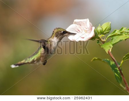 Juvenile male Ruby-throated Hummingbird hovering and feeding on an Althea blossom