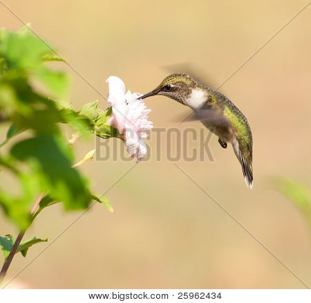 Young male Hummingbird feeding on a light pink flower