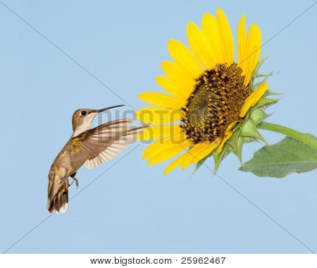 Female Ruby-throated Hummingbird looking for nectar in a sunflower
