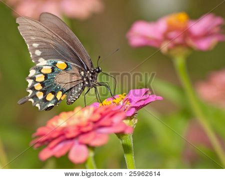 Green Swallowtail butterfly feeding on pink Zinnia in summer garden