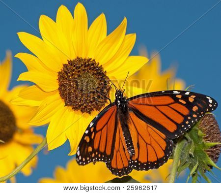 Monarch butterfly feeding on a sunflower against clear blue sky