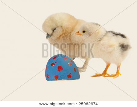 Chicken or the egg? Two baby chicks wondering which came first; on light background