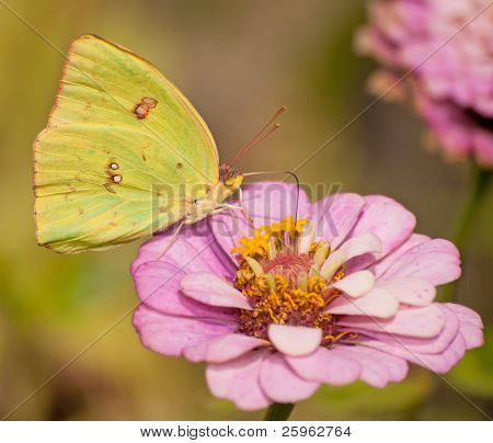 Bright yellow Cloudless Sulphur, Phoebis sennae butterfly