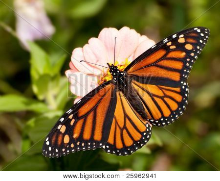 Dorsal view of a colorful Monarch butterfly feeding on a light pink Zinnia flower