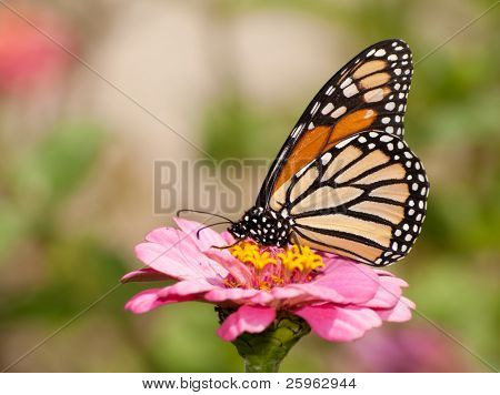 Beautiful orange and black Monarch butterfly feeding on a pink flower