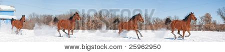 Panoramic image of a red bay horse galloping across pasture in snow