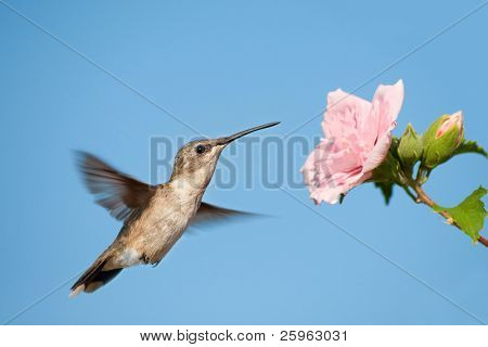 Hummingbird getting ready to feed on a pink flower against clear blue sky
