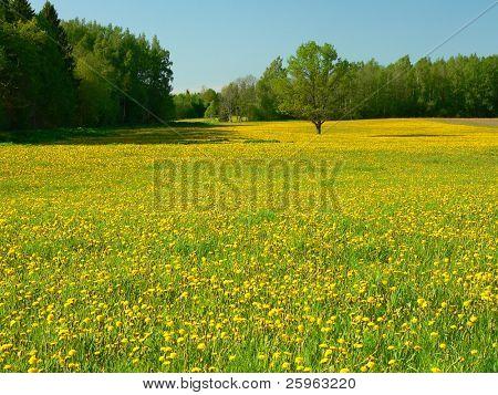 Field of dandelions in Latvia.