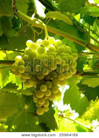 Big bunch of grapes lightened by backlight sunshine.