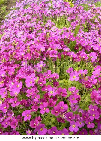 Flowerbed with purple phlox
