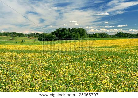 Field of dandelions and road in Latvia