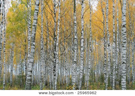 Birch grove in Latvia, Baltic states. Because of autumn leaves are colored in amazing yellow color.