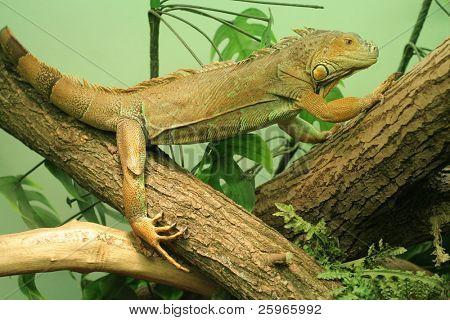 Two chameleons sit on branch in captivity