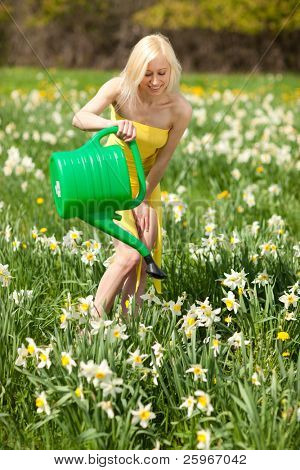 Beautiful blond girl works in narcissus field