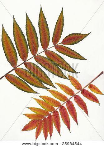 multicolor autumn leaves of sumac tree