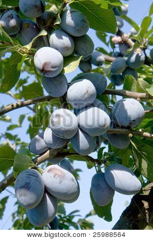 Plum tree over a blue sky