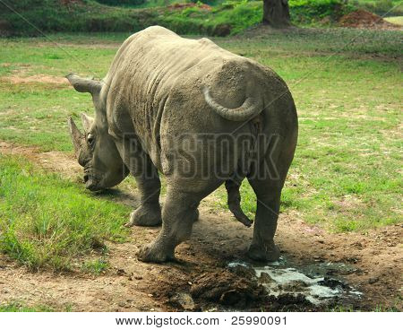 Indian Rhinoceros (Rhinoceros unicornis)  standing on the grass, India