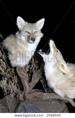 Coyotes Howling