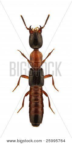 Xantholinus Decorus