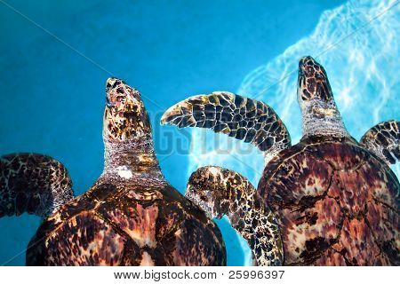Two sea turtle  swimming in tropical water, Cuba